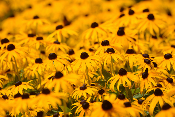 Black-eyed susan, Selective focus